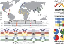 Photo of Haplotype-resolved diverse human genomes and integrated analysis of structural variation