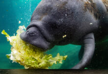 Photo of Florida's manatees are dying off at unusually high rates