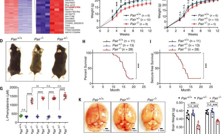 A noncoding RNA modulator potentiates phenylalanine metabolism in mice